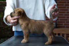 Rocky - Godt 7 uger gammel