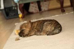 Messi snorkbobler i stuen - 7½ uge gammel eller deromkring