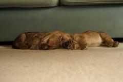 Max og Rocky snorkbobler i stuen - 7½ uge gammel eller deromkring