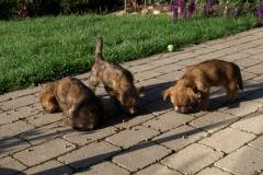 De tre røverprinser på jagt efter mad - 8 uger gamle
