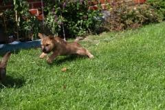 Rocky og Messi tumler i haven - 8½ uger gamle