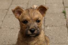 Rockys ører stritter næsten - knapt 9 uger gammel