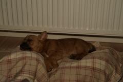 Rocky sover sødt - 9 uger gammel