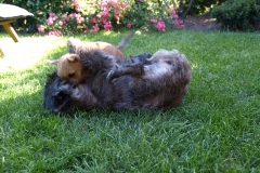 Ronia tumler med Rocky - godt 9 uger gammel.