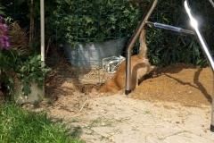 Rocky graver et lille hul i haven. Dittie hjalp nu også lidt til - 9½ uge gammel