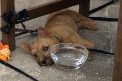 Rocky slapper af på terrassen på familiebesøg - næsten 10 uger gammel