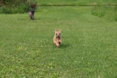 Ronia og Rocky på den sidste gåtur før Rocky flytter hjemmefra - 11 uger gammel