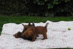 Tre røvere slås i haven - næsten 8 uger gamle