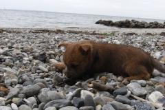 Dejlig tur til stranden - Messi og Rocky er knapt 9 uger